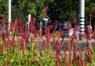 Vergroenen van rotondes en kruispunten voor bijen