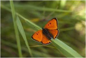 Nije Trijne vlinder natuurontwikkeling Adviesburo Adviesbureau ingenieursburo ingenieursbureau Ruimtelijke Inrichting Ruimtelijke Inrichting en Techniek